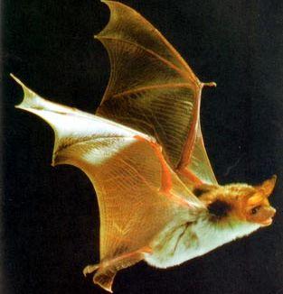 Адаптивное крыло летучей мыши