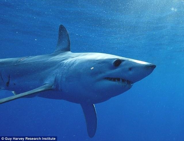 Акула установила рекорд, проплыв полмира за 600 дней