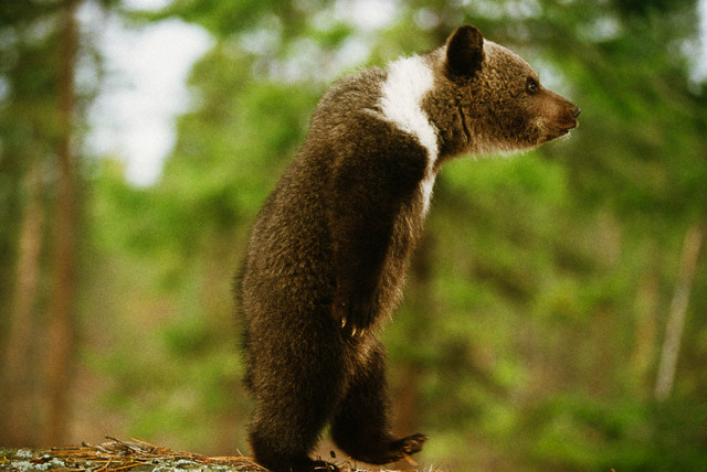 Бактерии обеспечивают медведям здоровое ожирение