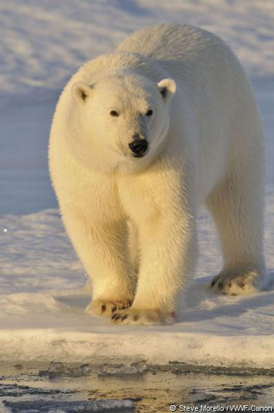 Белые медведи не мерзнут, потому что они белые