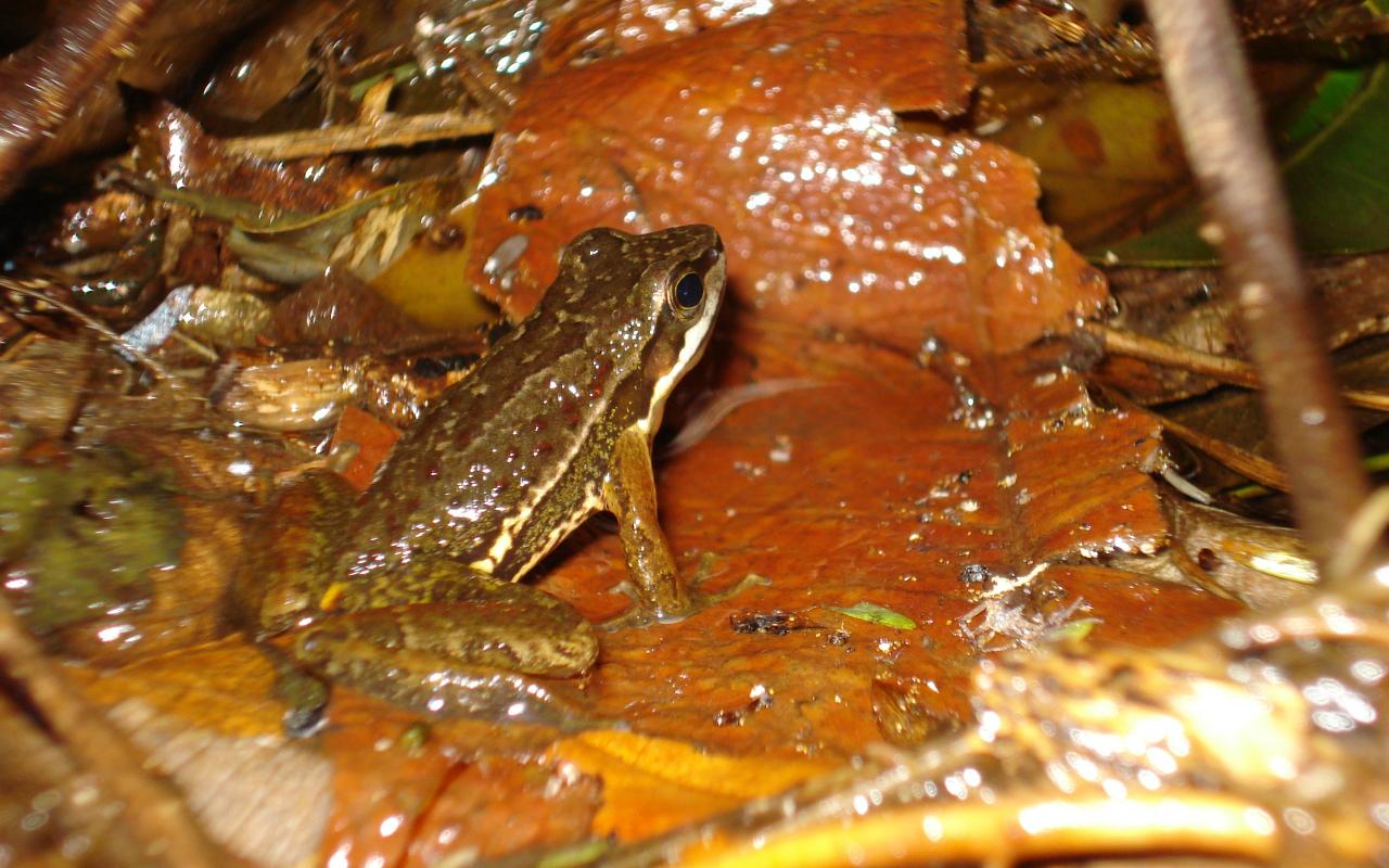 Бразильская лягушка пользуется языком жестов