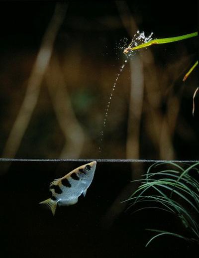 Брызгуны умеют стрелять на разное расстояние