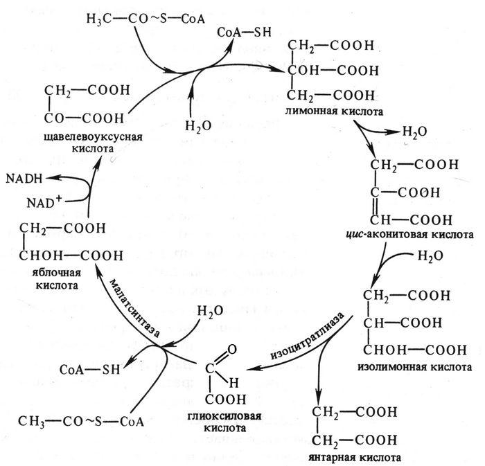 Человеческий фермент активизирует рост корней у растения