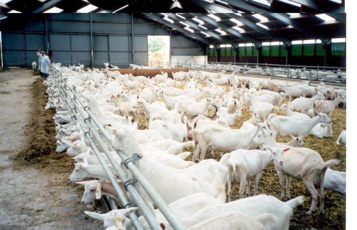 Чудо-коза – производитель человеческих белков