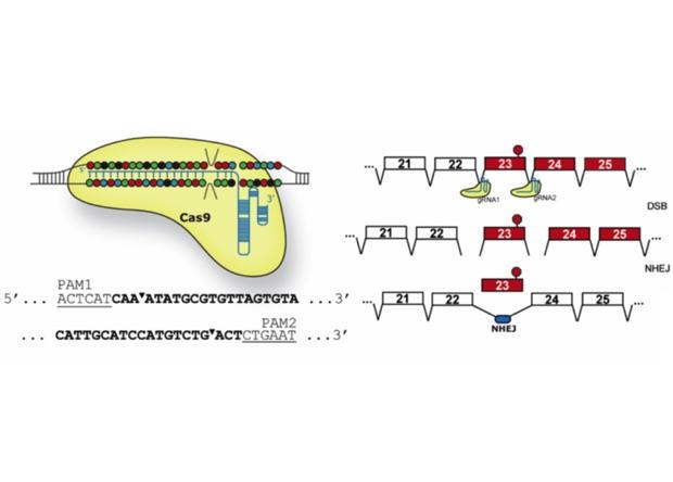 Crispr позволила «исправить» смертельно опасные мутации во взрослом организме