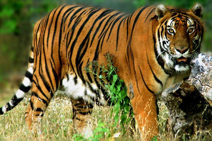 Где жить тигру?