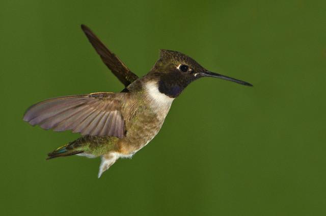 Гнёзда колибри охраняют ястребы