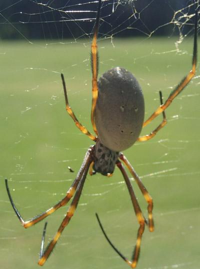 Городская жизнь идёт паукам на пользу