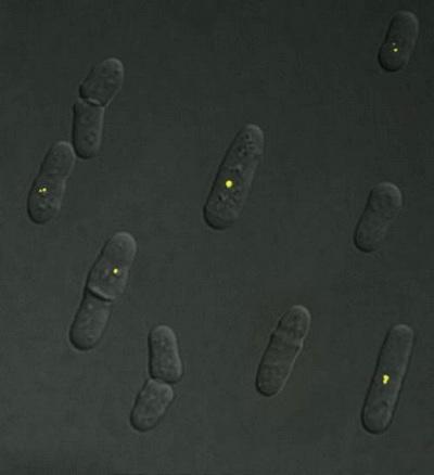 Как клетка управляет молекулярными «поездами»
