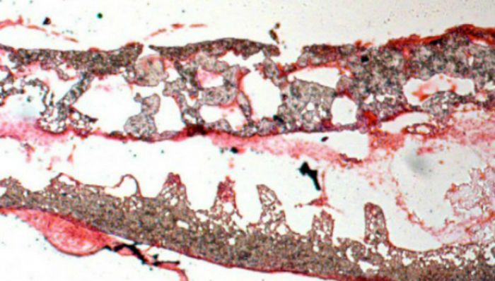 Кишечники, выращенные в лаборатории, были пересажены мышам и собакам