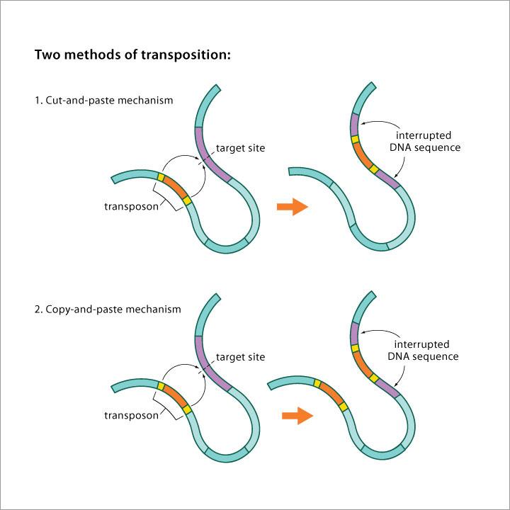 Клетка держит «прыгающие гены» в вечном архиве