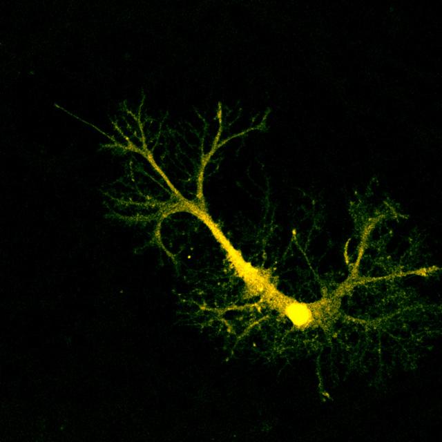 Клетки мозга обмениваются «батарейками»