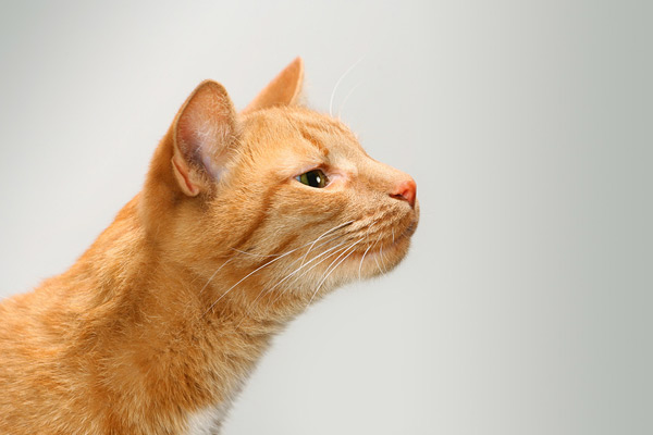 Кошки доверяют глазам больше, чем носу