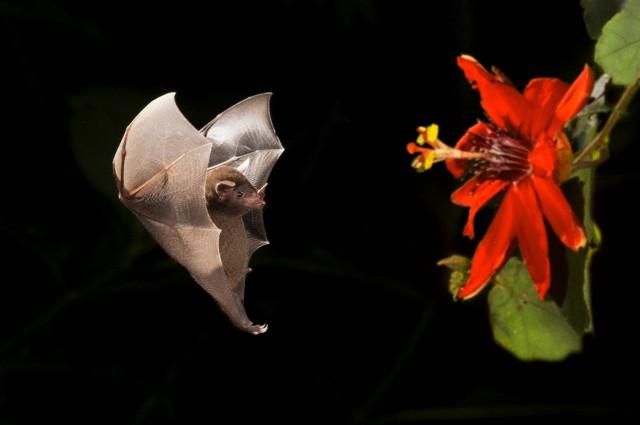 Летучие мыши пьют нектар пульсирующим языком