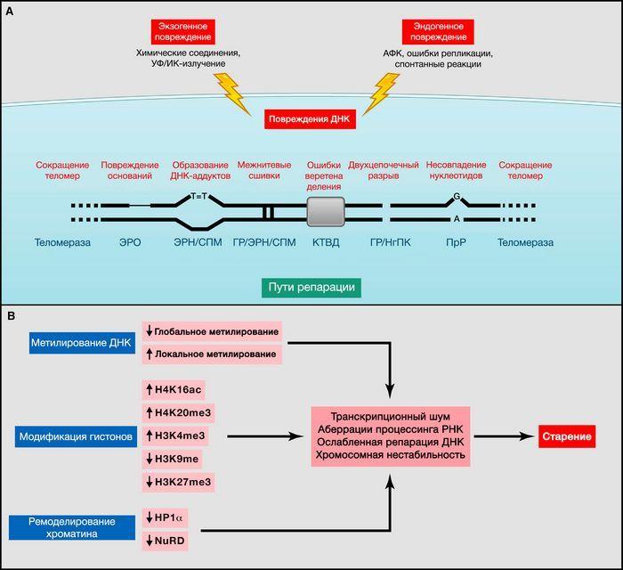 Молодые сосуды восстанавливают способность бета-клеток вырабатывать инсулин