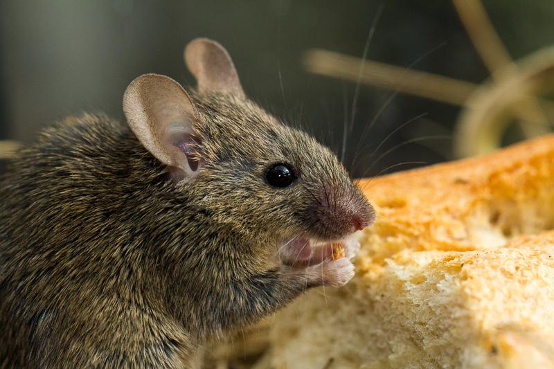 Мыши поют по-реактивному