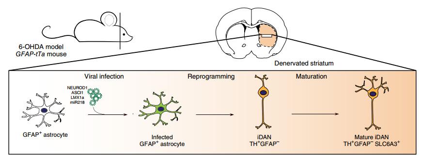 Нейроглию превратили в нейроны in vivo
