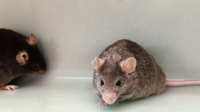 Новый препарат сохранил жизнь 90% мышей, подвергшихся воздействию радиации
