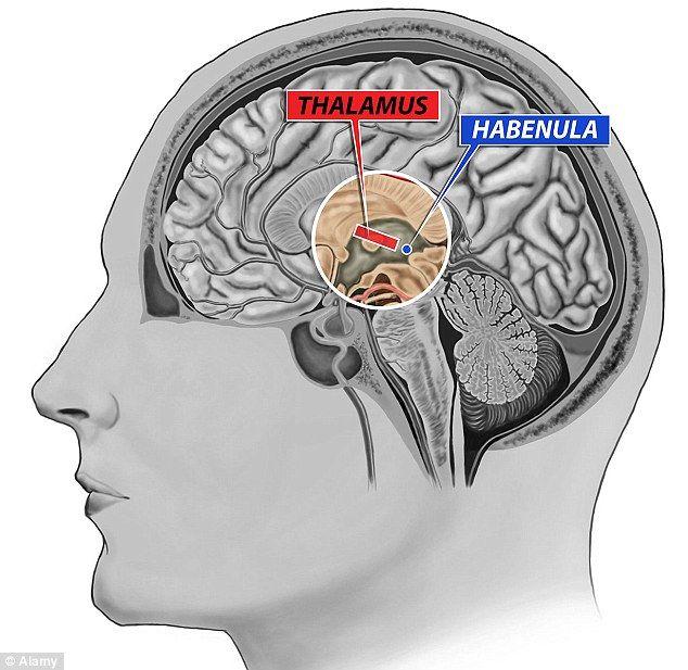 Обнаружена область мозга, ответственная за общительность