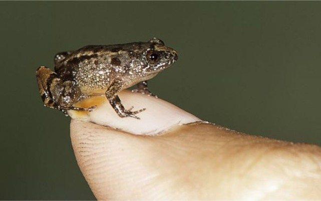 Обнаружены удивительные микро лягушки размером с mm's