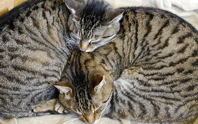 Откуда у кошек берутся полоски на шерсти?