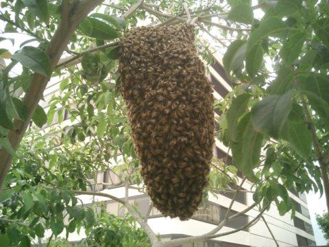 Пчелиный рой как термостат