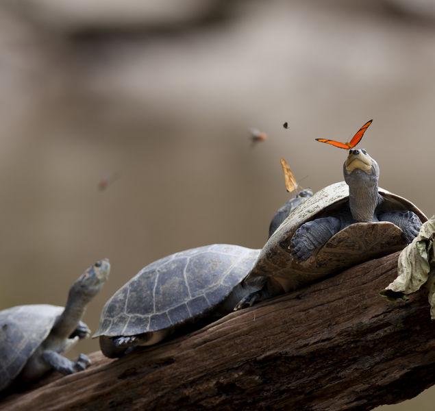 Почему бабочки пьют слезы черепах?