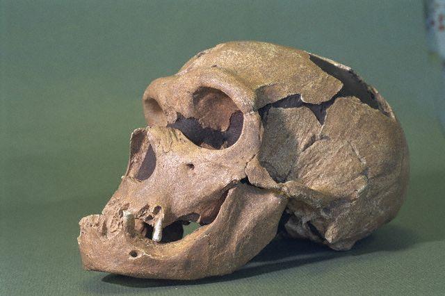 Почему лицо неандертальца отличается от лица человека разумного