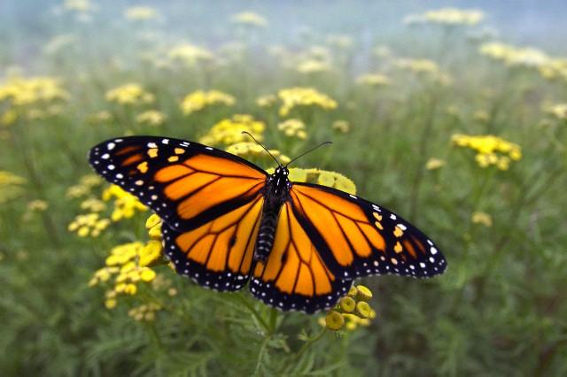 Почему некоторые бабочки стали ядовитыми