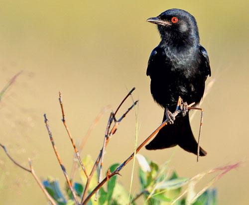 Птички дронго: мошенники или мыслители?