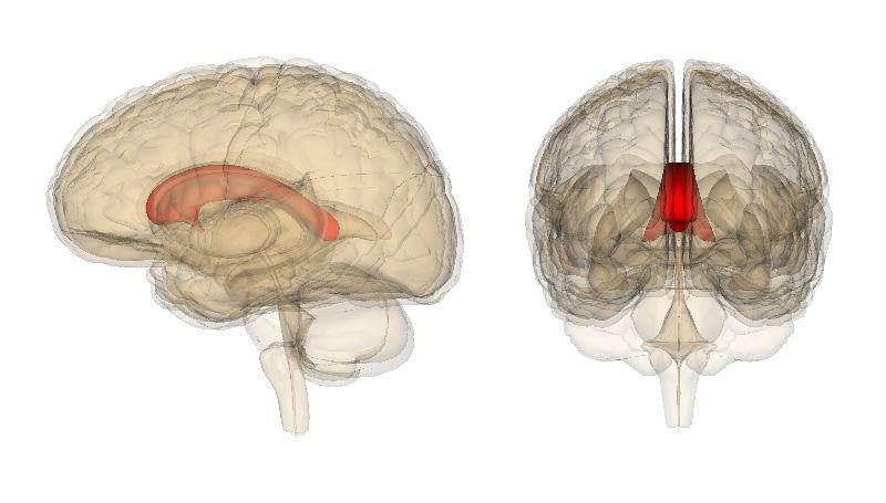 «Расщеплённый» мозг работает как одно целое