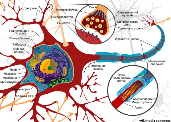 Российские учёные измерили нервную клетку под лазерным микроскопом