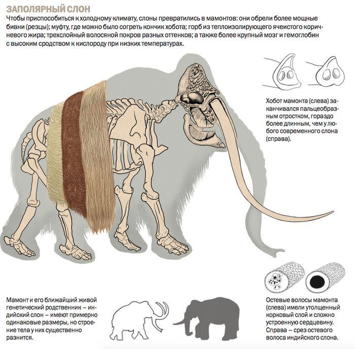 Российские учёные впервые в мире начали исследование мозга мамонта