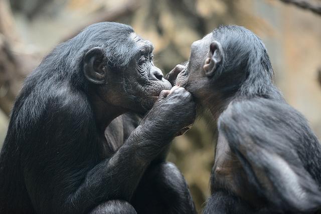 Самки бонобо «врут» ради мирной жизни