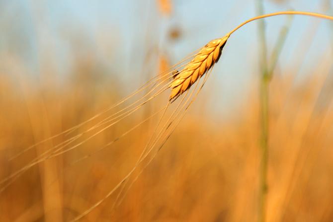 Сельское хозяйство в европу принесли «мигранты» с ближнего востока