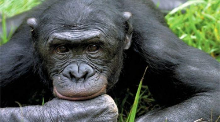 Шимпанзе – человеку брат?