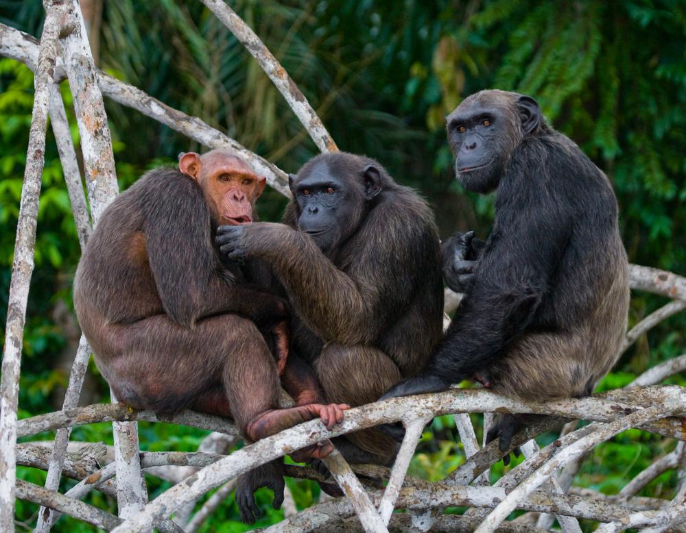 Шимпанзе спасаются от стресса в кругу друзей