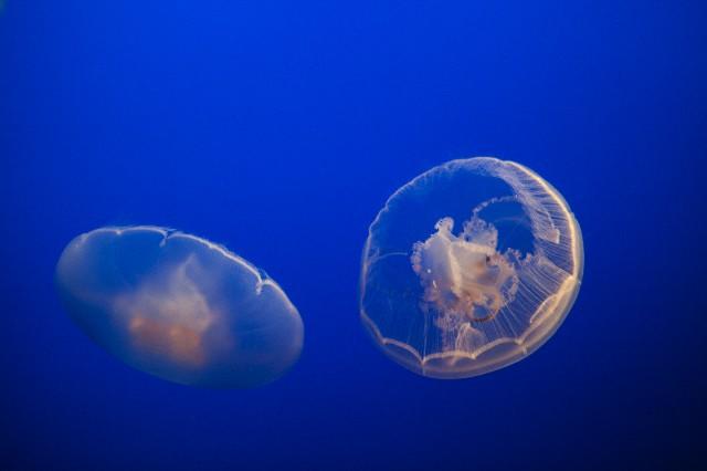 Симметрия превыше всего: как медузы восстанавливают своё тело