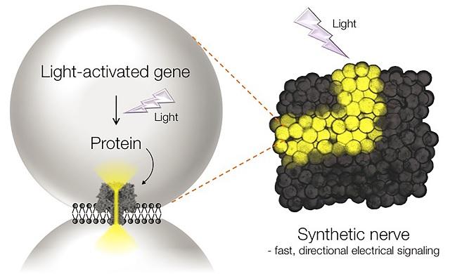 Синтетические «нервы» работают на свету