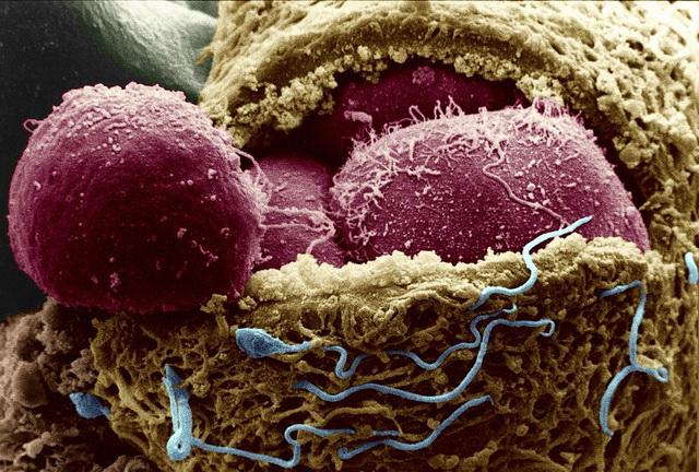 Сколько генов управляют человеческим зародышем