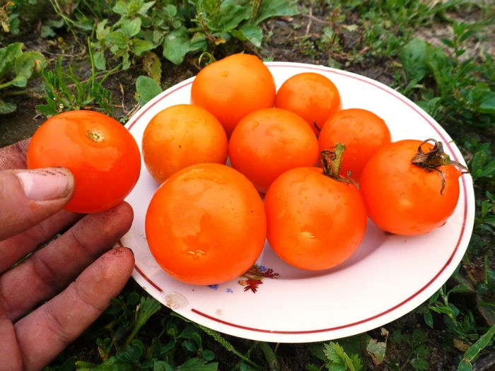 Тайна сладости и аромата помидора