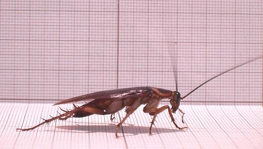 Тараканы-киборги: ученые научились управлять насекомыми на расстоянии
