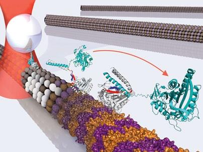 Ученые определили, каким образом перемещаются белки-биомоторы в клетке