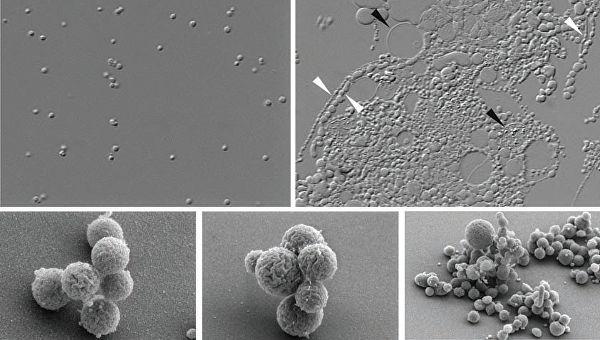 Ученые создали синтетическую бактерию с максимально короткой днк