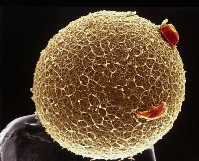 Возможно ли оплодотворение без оплодотворения?