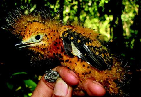 Зачем птицы притворяются гусеницами