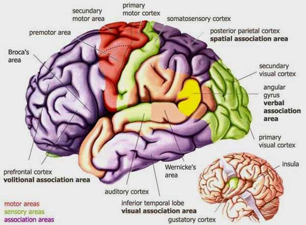 Зрительная кора мозга реагирует на звук